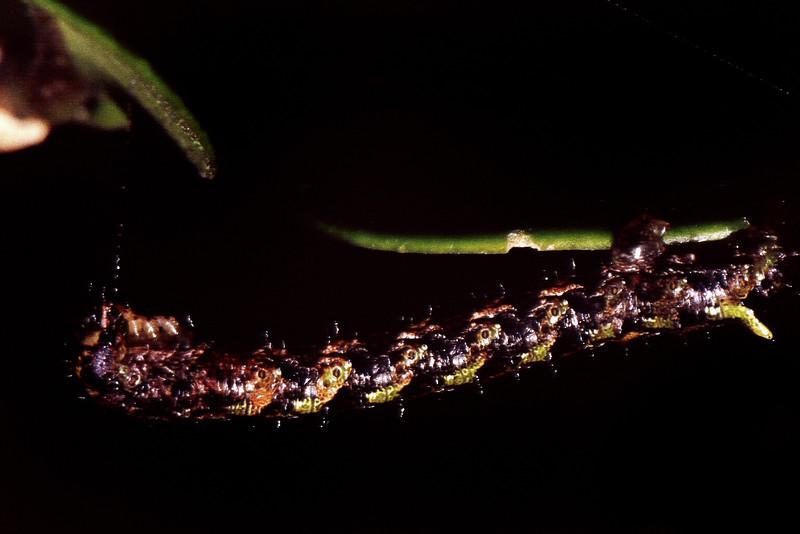 Geometridae (Lepidoptera) on Melicope sp., West Maui