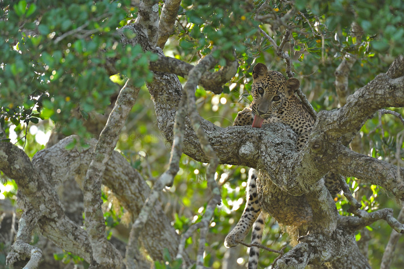 Leopard licking his paws while sitting on a branch of a tree in Yala national park, Sri Lanka