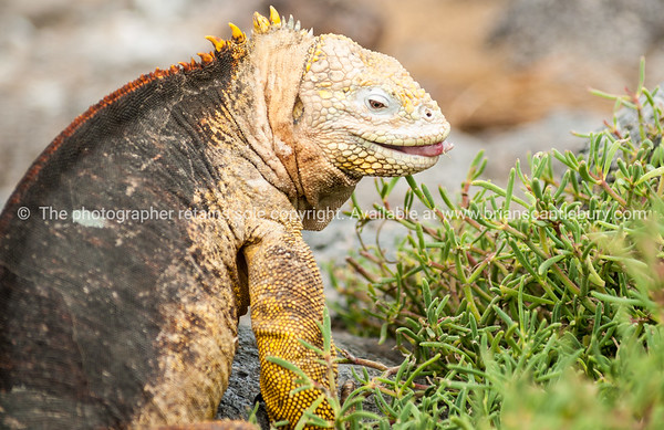 """Wildlife, landforms & landscapes of the Galapagos Islands.<br /> The Galapagos Land Iguana (Conolophus subcristatus)<br />  Photos, prints & downloads SEE ALSO:  <a href=""""http://www.blurb.com/b/3551540-galapagos-islands"""">http://www.blurb.com/b/3551540-galapagos-islands</a>"""