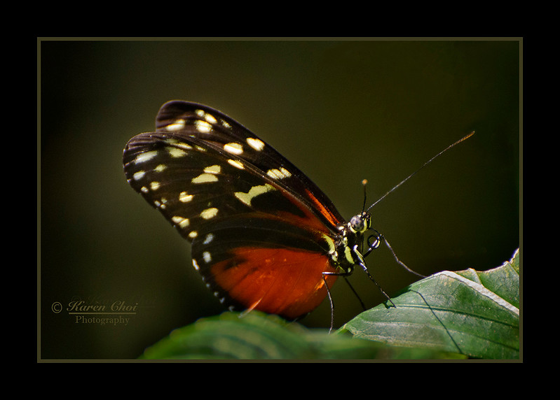 red and black butterfly sm.jpg