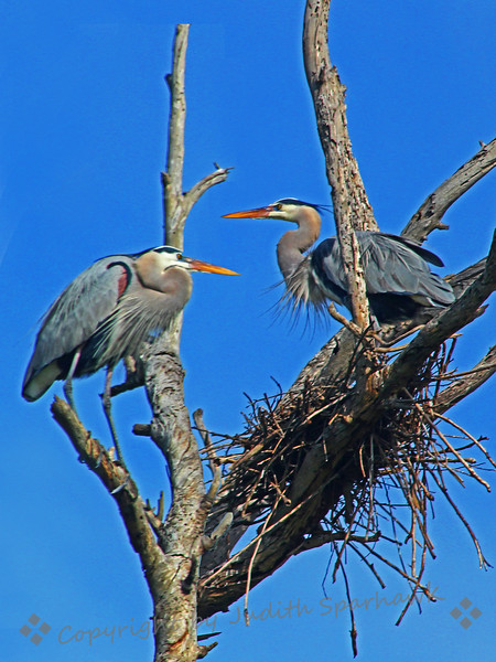 Nesting Time ~ I saw this pair of Great Blue Herons, apparently starting a nest in this old snag of a tree.  It looks like it will need quite a bit of work before it will support eggs or babies.  This was at Bolsa Chica Ecological Preserve in Orange County, CA.