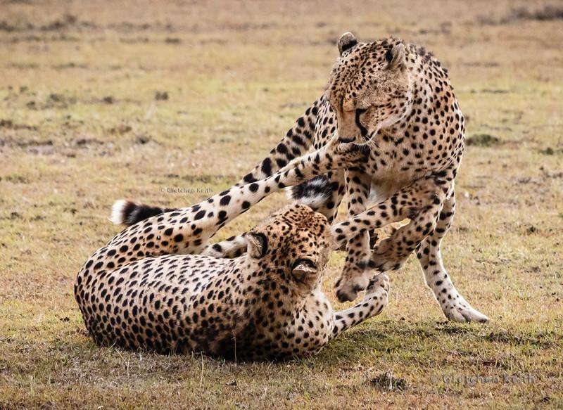 Cheetah brothers-5899 dgrin w copyright.JPG