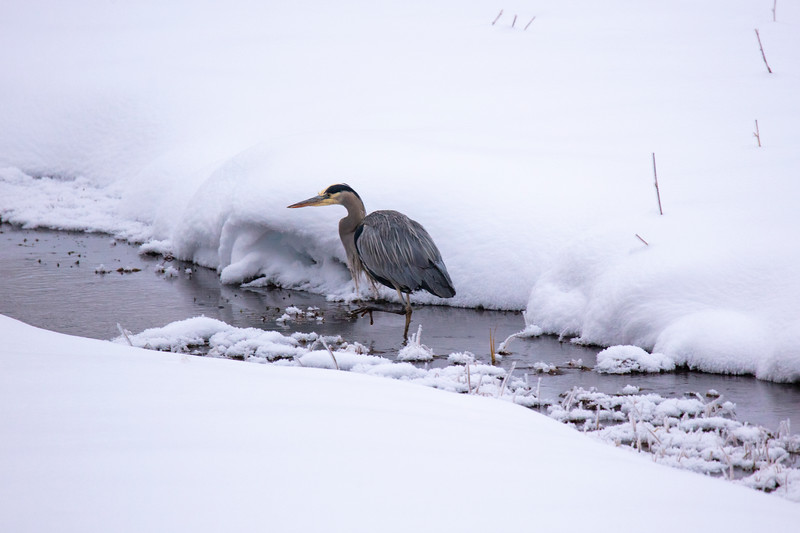 387A9815 Great blue heron cropped.jpg
