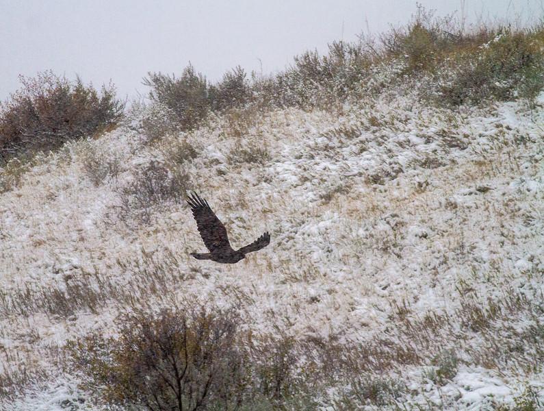 Golden Eagle Theodore Roosevelt National Park Medora ND -2120.jpg