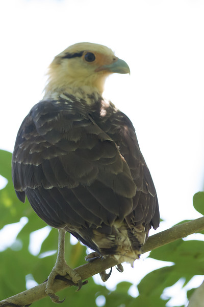 Yellow-headed Caracara - Osa, Costa Rica