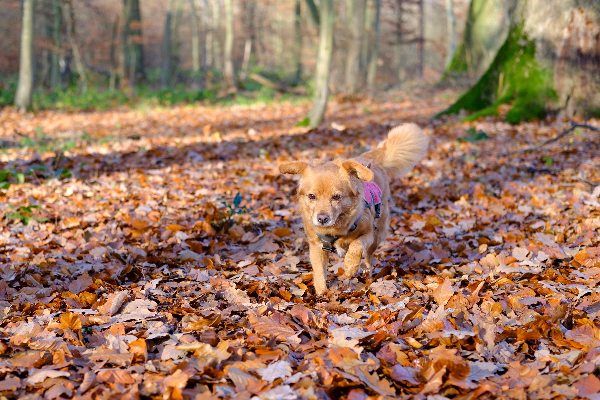 Mika running towards me through a forest clearing covered in leaves