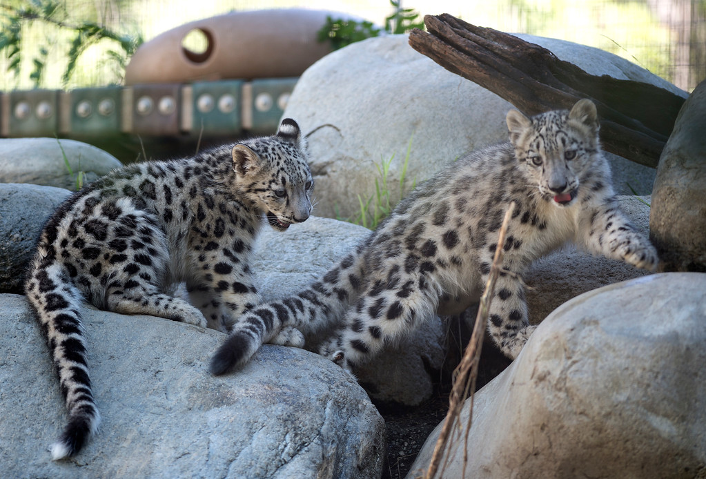 . Brother and sister Snow Leopard cubs play in their habitat at Los Angeles Zoo and Botanical Gardens on Tuesday, Sept. 12, 2017. (Photo by Ed Crisostomo, Los Angeles Daily News/SCNG)