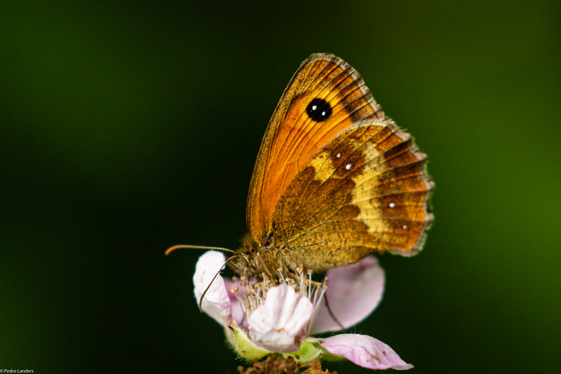 Another Gatekeeper on Brambler Flower