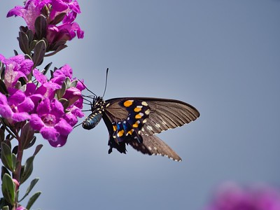 Pipe Vine Swallowtail Butterfly on Ceniso Blooms