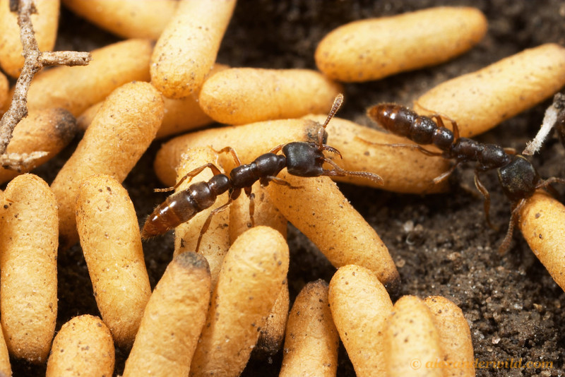 Stigmatomma pallipes dracula ant workers with cocoons.  This species is the most common and widespread of the North American Stigmatomma.  South Bristol, New York, USA