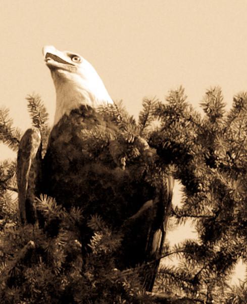 Sepia Eagle