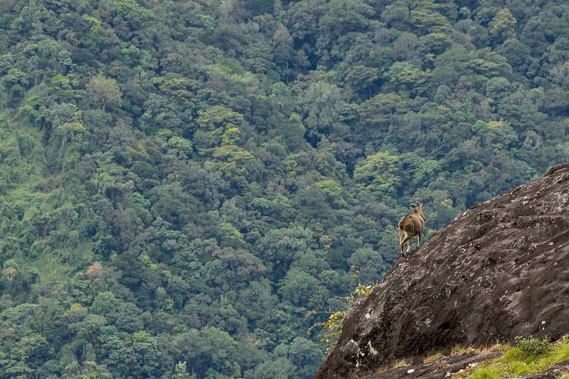 Nilgiri-Tahr-3.jpg