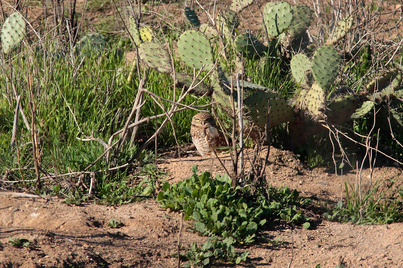 Burrowing Owl at Muth Center 2P8E3710.jpg