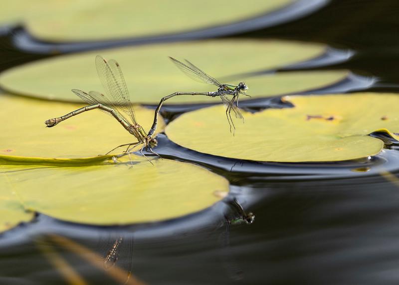 Emerald damselflies oviposting on water lily