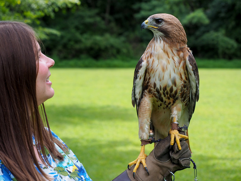 Red tail hawk from Ohio School of Falconry