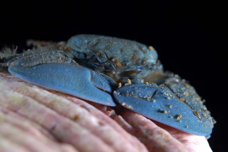 kevin lee Flat Porcelain Crab, blue variety... Venue: Shaw's Cove, Laguna Beach, CA Date: August 5, 2007 Rig: Nikon D200; dual YS-110 strobes