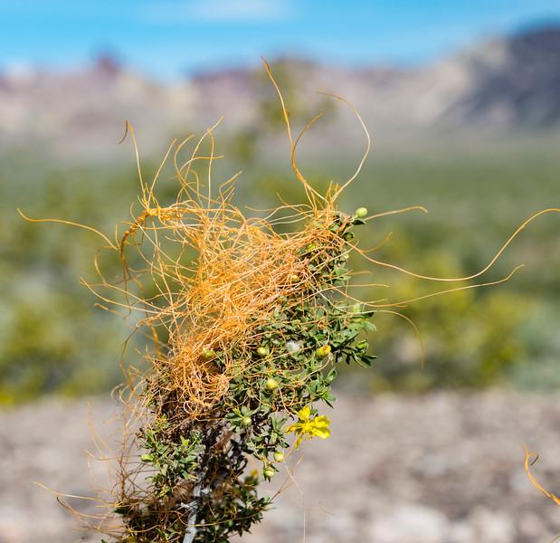 Cuscuta-Death-Valley-dodder-parasitic-plant-April2017.jpg