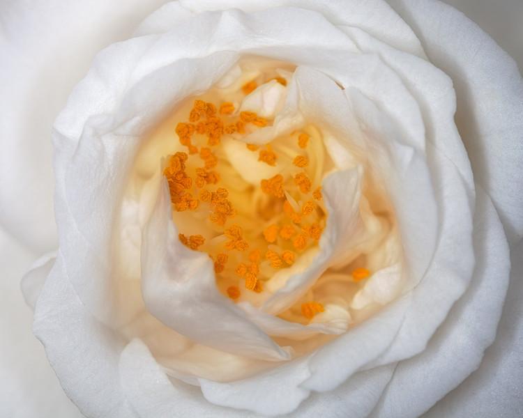 camellia pollen