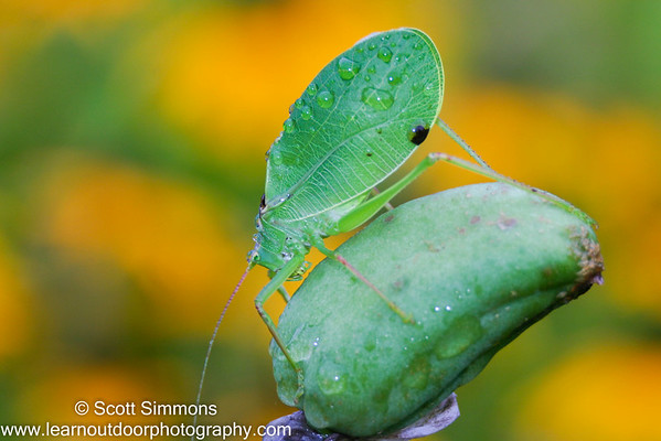 Grasshoppers and Katydids (Orthoptera)