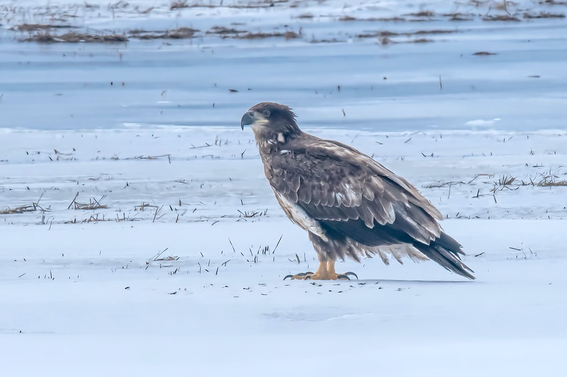 First Winter Bald Eagle