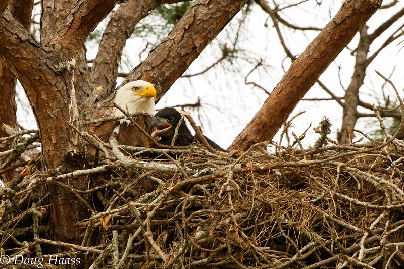 Adult Bald Eagle Haliaeetus leucocephalus with eaglet
