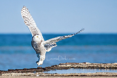 Snowy Owl Images ~ Rochester, NY