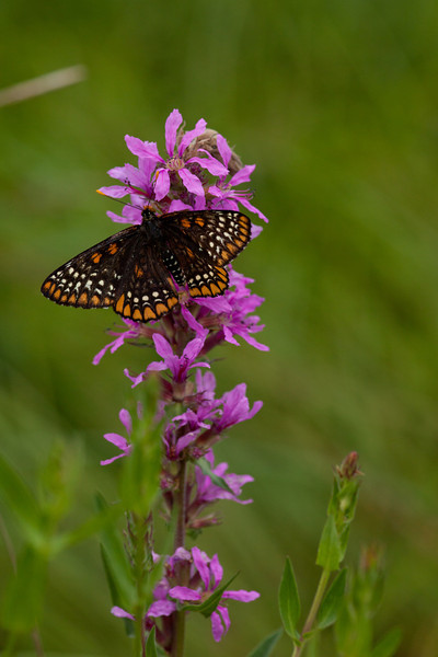 Baltimore Checkerspot on Purple Loosestrife.  Big Foot  approx F5.6