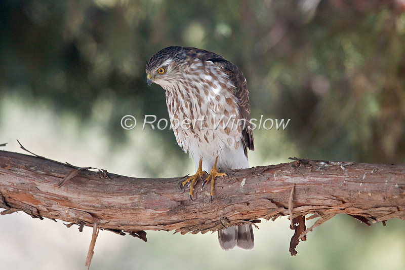 Sharp-shinned Hawk, Accipter striatus, La Plata County, Colorado, USA, North America
