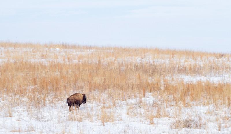 Bison Neal Smith National Wildlife Refuge NWR Prairie City IA  IMG_1934.jpg