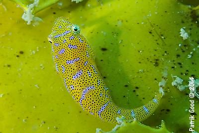 Gobiesociformes
