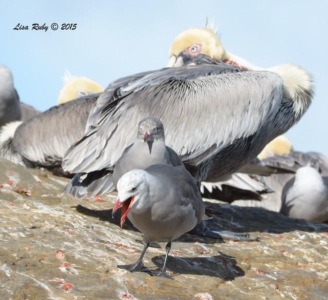 Heerman's Gulls and Brown Pelican  - 1/8/2016 - La Jolla Cove
