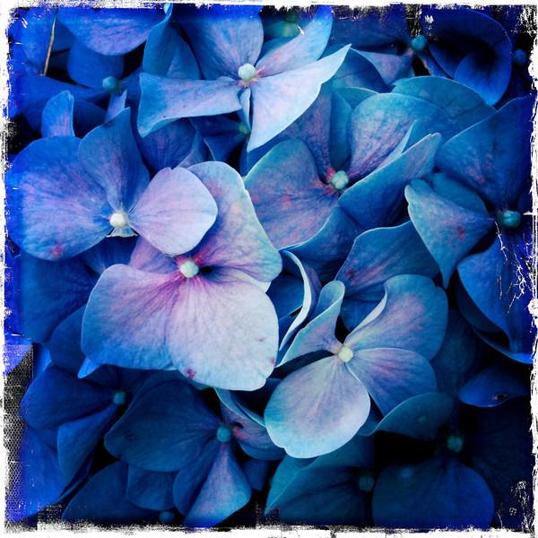 Flower hydrangea macro .JPG