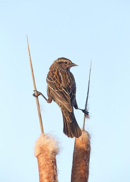Red-winged Blackbird female doing the splits
