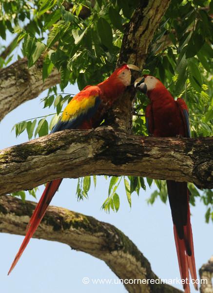 Scarlet Macaw - Copan Ruinas, Honduras