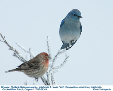 MountainBluebird&HousefinchM69349.jpg