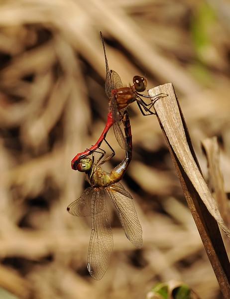 Sympetrum rubicundulum (Ruby Meadowhawk), GA