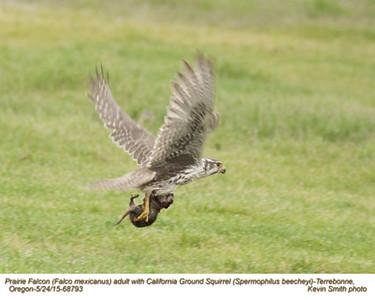 Prairie Falcon A & California Ground Squirrel 68793.jpg