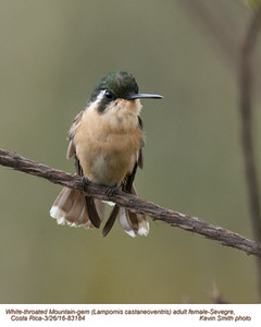 White-throated Mountain-gem F83184.jpg