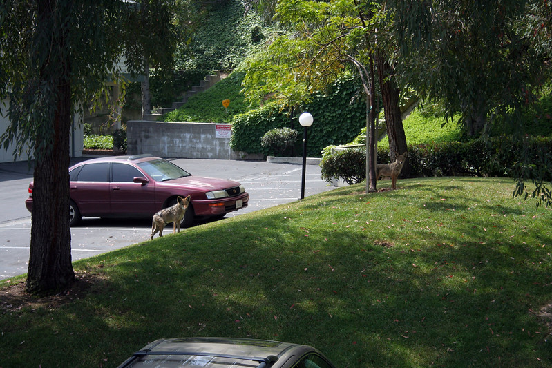 Coyotes in the complex at Sunland.