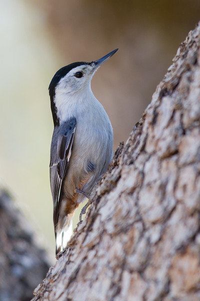 White-breasted Nuthatch - Mines Road, CA, USA