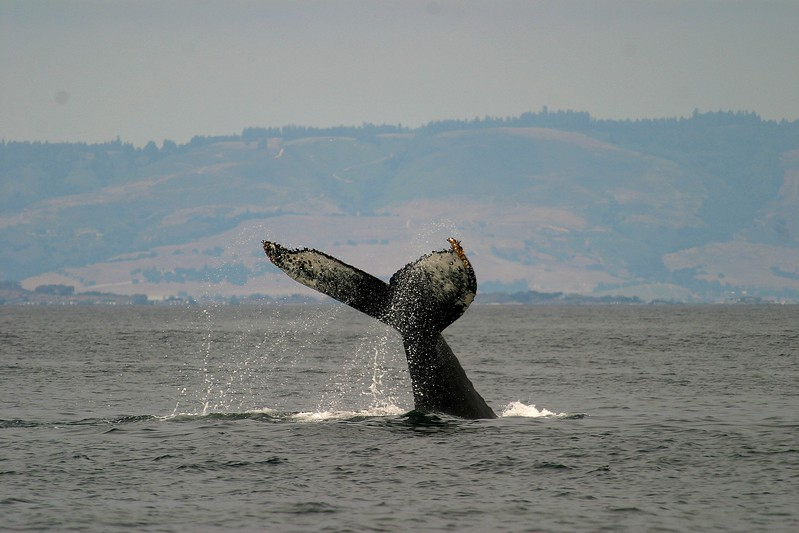 Individual Humpbacked Whales can be identified by the unique white pattern under their tail fluke [August; Monterey Bay, California]