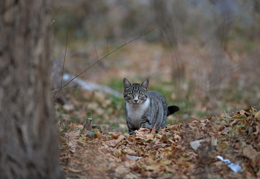 . A cat walks along South Platte River Dr., where a colony of feral cats is living in Denver, CO, Thursday December 06, 2012. Craig F. Walker, The Denver Post
