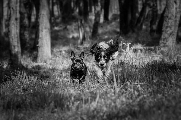 2018 - Dog portrait - Snerty & Fleur 002 b&w b