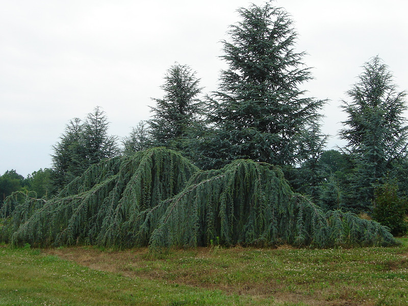 Cedrus atlantica 'Glauca Pendula'