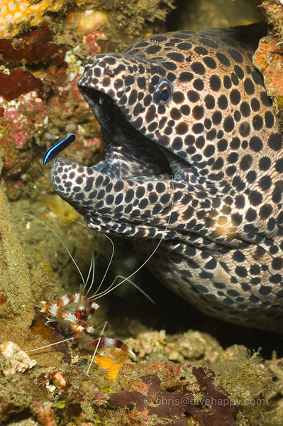 Honeycomb Moray, Cleaner Shrimp And Cleaner Fish © Chris Mitchell