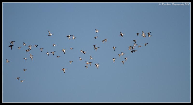 Duck migration at Bosque Del Apache, Socorro, New Mexico, November 2010