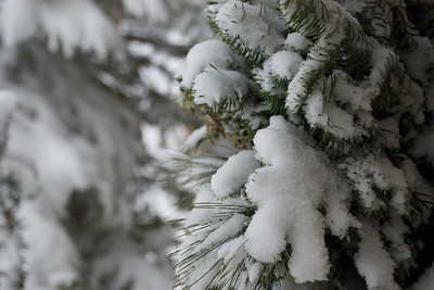2009 12 24:  Home Snow, Evergreens