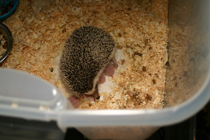 Litter - Capsaicin and Ackley (04/26/2004)  Newborn: ~33 hours old.  Filename reference: 20040427-002701-HAH-Hedgehog_Babies