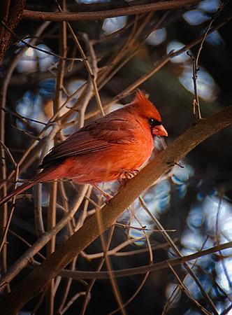 Cardinal-in-tree  best.jpg