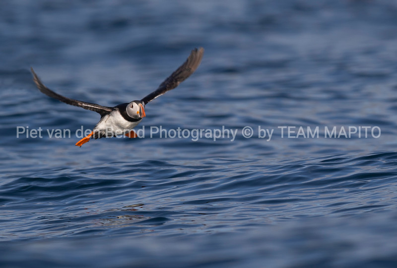 Puffin Northern Norway